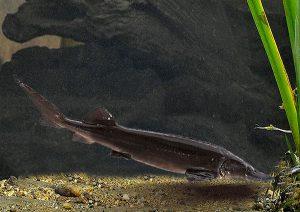 Acipenser-Persicus-fish