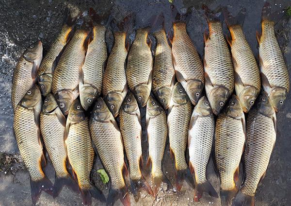 lazir Common Carp