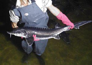 Huso-huso-fish