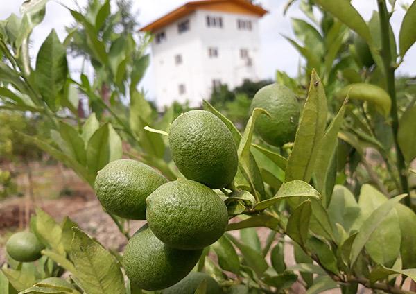 lazir Limequat tree -greenhouse