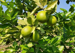 lazir-persian-lime tree